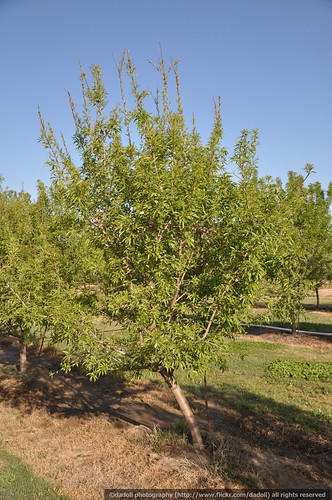 Almond tree with zinc deficiency