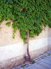 Alter Weinstock (happycat) Tags: flower germany bayern leaf vine blume blatt altmhltal wein parthenocissus niederbayern essing wilderwein jungfernrebe marktessing lkkelheim