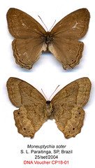 Moneuptychia soter