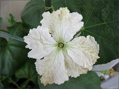 Squash (Gourd?) Blossom