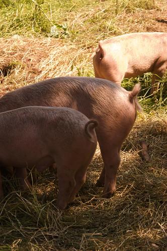 SeaBreeze pigs IV