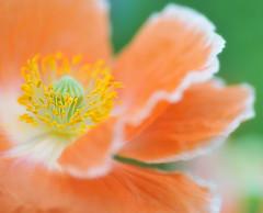 POPPY (ajpscs) Tags: orange flower macro festival japan japanese tokyo interestingness spring nikon explore poppy  nippon   tamron90mm icelandpoppy d300 springflower   showakinenkoen ajpscs