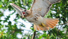 Red-Tailed Hawk In Flight (Brian E Kushner) Tags: bird birds animals inflight newjersey nikon perfect photographer hawk wildlife brian flight nj bluejay predator soe redtailedhawk buteojamaicensis audubon birdwatcher the birdinflight kushner harassment naturesfinest d90 backyardbirds harassing supershot topshots specanimal animalkingdomelite mywinners abigfave nikond90 avianexcellence natureselegantshots thewonderfulworldofbirds audubonnj sigma150500mmf563dgoshsm bkushner brianekushner ~~api~~ briankushnerphotographycom