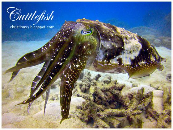 Cairns: Cuttlefish