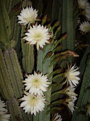 Night Blooming Cereus (blatz911) Tags: flowers arizona plants plant flower tucson blooming cereus