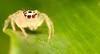 Jumper (-Azri) Tags: macro insect spider jumper makro outing binatang lakegarden serangga tamantasikperdana klnatureouters