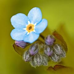 Forget me not (Grant_R) Tags: blur flower macro closeup petals flora forgetmenot f28 sigma105mm grantr