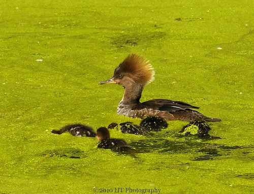 Female Hooded Merganser & chicks-2