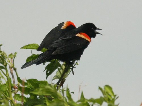 Red-winged Blackbird 20100518