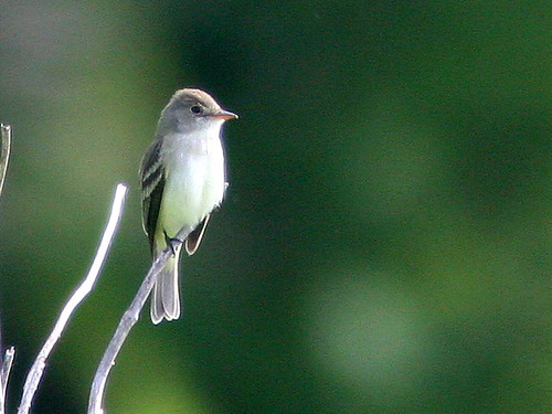 Willow Flycatcher 20100518