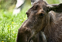 Moose (***roham***) Tags: wild nature animal zoo nikon moose d200 greatervancouverzoo nikond200 wildphotography 400mmf35aisii nikon400mmf35ais