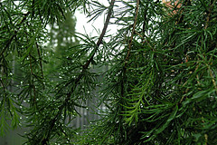 Rainy Larch (Bushman.K) Tags: rain drops larch