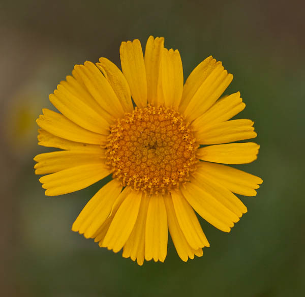 Desert Marigold at Tohono Chul Park in Tucson Arizona