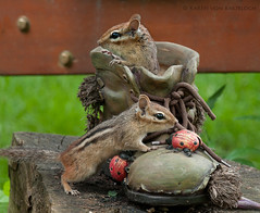 Hey...where did you go! (KvonK) Tags: playing chipmunk summerfun inmybackyard chipmunks backyardwildlife kvonk