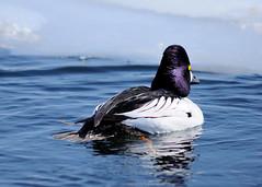 DSC_0988_edit (Hanzy2012) Tags: nikon d90 toronto tommythompsonpark lesliestreetspit bird teleconverter duck sigma300mmf28exapodghsm 2xteleconverterexapodg nature wild ontario canada