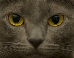 Warrior (jasohill) Tags: 15fav usa macro eye yellow america cat fur 350d japanese grey eyes feline vermont canon350d backgrounds bella fotocompetition fotocompetitionbronze