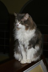 14/365 Owen posing (The Suss-Man (Mike)) Tags: cats pets animals owen graycat longhaircat thesussman project3661 sonyalphadslra200