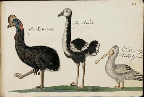 cassowary, ostrich & pelican sketches