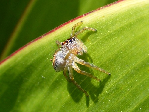 Tiny Jumping Spider - DSCF4146c