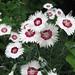 Photo: Dianthus plumarius