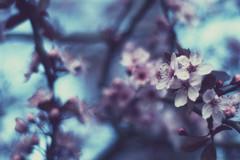 (Jordan Chark) Tags: blue canada tree vancouver march spring bc blossom archive nikond50 cherryblossom sakura nikkor50mmf18 2008 lastyear