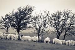 The Black Faced Sheep (Dan Baillie) Tags: winter blackandwhite landscape sheep farm monotone hills fields portfolio animalplanet agricultural galloway dumfriesandgalloway puddock wigtownshire danbaillie kirkcowan bailliephotographycouk bailliephotography wigtownshirephotographer dumfriesandgallowayphotography