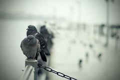 You're not alone... (Lee_Bryan) Tags: winter snow dof bokeh pigeons zurich