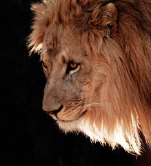 Backlit Lion (JLMphoto) Tags: portrait animal cat mammal lion backlit soe zooatlanta naturesfinest specanimal specanimals goldstaraward jlmphoto vosplusbellesphotos