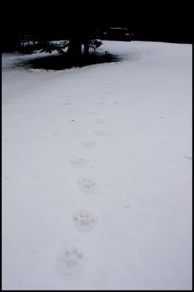 huellitas de puma - Manning Park