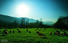 :) ... (Tikke Sang) Tags: life nature landscape persian nikon sheep iran persia jungle iranian  sheeps drove  golestan   d80        tikkesang