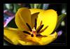 ~~~Tuesday Yellow Tulip~~~ (~~~Gasssman~~~) Tags: sensational fabulous visualart cubism beautysecret supershot bej golddragon mywinners diamondclassphotographer flickrdiamond theunforgettablepictures flowerwatcher overtheexcellence proudshopper theperfectphotographer spiritofphotography multimegashot gemsofnature rubyphotographer flickrbestpics awesomeblossoms simplythebest~flowers alittlebeauty cffaa flickrsmasterpieces flickrclassique daarklands