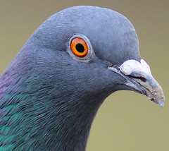 Racing Pigeon Portrait (earlyalan90 away awhile) Tags: soe aplusphoto avianexcellence goldstaraward rubyphotographer 100commentgroup