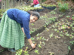 Rebecca gathers tropical oak tree seedlings for another group member to plant in bags of soil.
