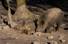 The wild boar family (dididumm) Tags: family germany spring familie piglet frhling wildschwein wildboar frischling
