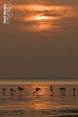 Flamingo with sunset (SanforaQ8) Tags: sunset orange animal lens nikon flamingo free photographers finepix fujifilm kuwait q8 70200mm freetradezone s5pro sanfora nadamarafie kfpphotogalleryinikea
