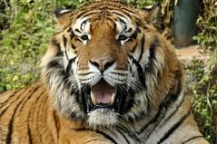 LA TIGRE the tiger (PARIDE CATELLI) Tags: animals cat zoo tiger safari felino tigre animali fasano paride catelli