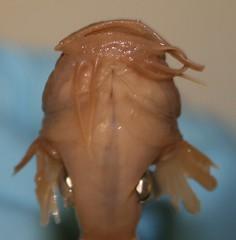 tadpole madtom belly (SuperIDR) Tags: gyrinus noturus