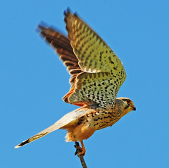 Ready for take-off (Habub3) Tags: travel holiday bird nature animal fauna germany deutschland photo search nikon action urlaub natur explore blau frontpage soe neckar hunt vacance kestrel tier vogel falke falcotinnunculus fellbach d300 greifvogel remseck turmfalke jagt serach gefieder habub3