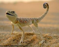 :P (!  ) Tags: lizard doha qatar sohail suhail  sealine   qatari najem    quatari  udaied