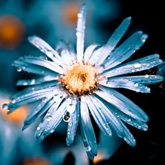 Fridaisy's daisy is an aster. Also? Damp. (harold.lloyd) Tags: blue water yellow droplets shiny bokeh cyan aster 50mmf14 sbf taggery astery ehbd sadbokehfriday dheml ehhd daisyweek daisery fridaisy missingabee