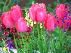 Tulip Time Again :) (Cher12861) Tags: pink flowers macro nature beauty yellow closeup canon illinois dof purple tulips explore blooms lisle mortonarboretum happyflowers lisleillinois spring2009 cher12861