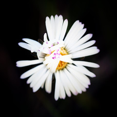 1521 (saul gm) Tags: flower macro fleur flor daisy margarita ltytr1
