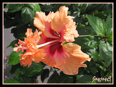 Hibiscus rosa-sinensis 'El Capitolio Sport', an apricot crested single, seen around our neighborhood