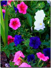 DSCF2134 (phil_sidenstricker) Tags: flower macro nature floral landscape botanical searchthebest soe supershot fineartgallery donotcopy platinumphoto fujifilmfinepixs5700 buttergarden florenceazusa iosonoungenioiamagenius daarklands