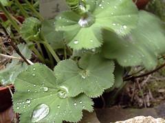 Lady's Mantle (The Chairman 8) Tags: plants plant water leaves stone moving drops wind yorkshire plantpot alchemilla mollis alchemillamollis ladysmantle