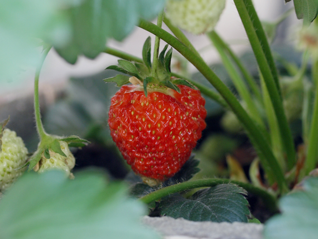 2009-05-12 strawberry