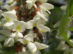 l'impollinazione.. (g.fulvia) Tags: flowers nature insect fiori acacia insetto pollination robiniapseudoacacia fantasticflower theperfectphotographer forestwander forestwandernature apemellifera