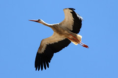 Storking Me (MykReeve) Tags: blue sky bird flight morocco cloudless stork meknes المملكةالمغربية المغرب مكناس geo:lat=33890603 geo:lon=5563545