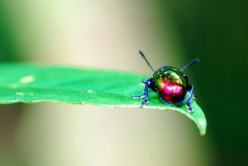 大紫豔金花蟲