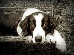 Contemplation (meg price) Tags: dog bordercollie barney bestinshow blueribbonwinner thelittledoglaughed theunforgettablepictures theunforgettablepicture platinumheartaward